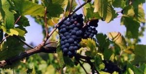 Виноград lambrusco